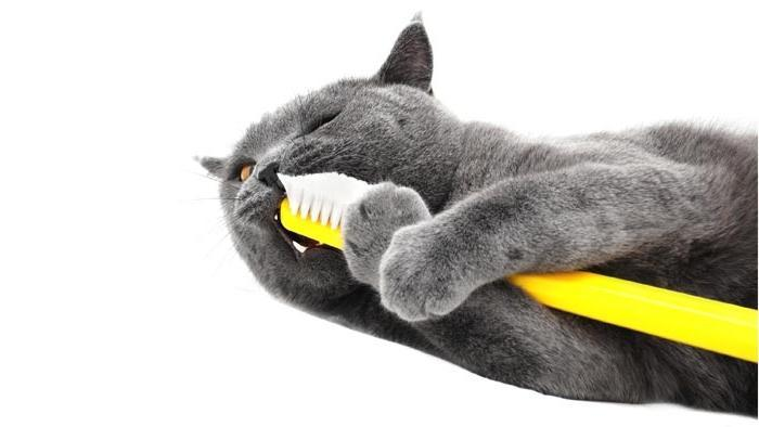как чистить зубы кошке
