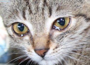 Кошки и слезки. Почему плачут кошки?