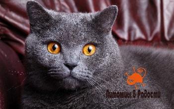 Британская порода кошек: характер, питание, уход