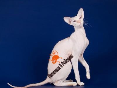 Кошки породы Сфинкс: канадский, донской, петербургский