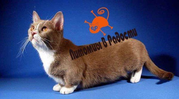 Порода кошек Манчкин. История ее возникновения, характеристика и особенности.