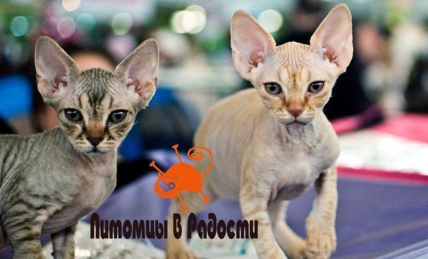 Кошки породы Петерболд