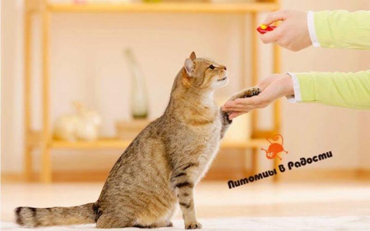 Советы по обучению кошек дисциплине