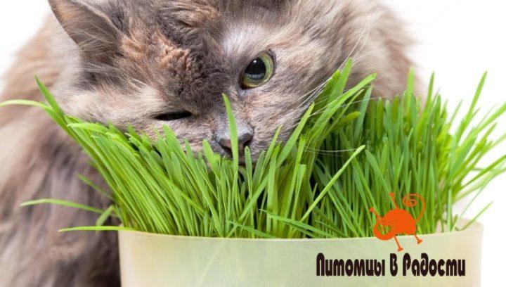 Как вырастить в квартире траву для кошки