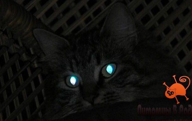 Почему у кошки светятся глаза в темноте?