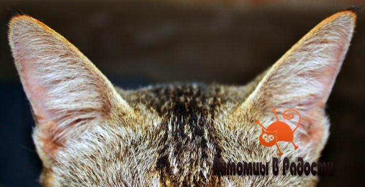 Кошачий слух