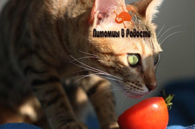 Можно ли кошкам есть помидоры?