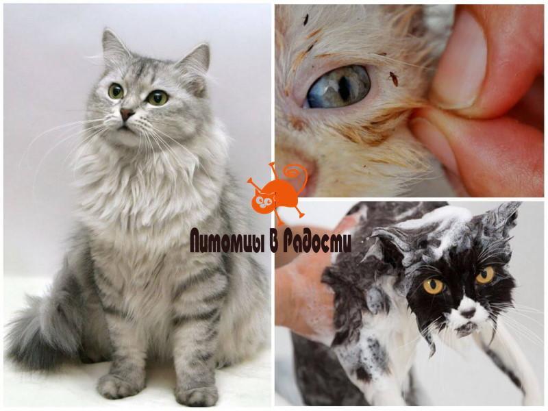 Блохи у кошек - профилактика шампунем