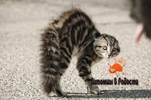 Кошка выгибает спину дугой и ее шерсть встает дыбом. Это безопасно, или стоит беспокоиться об этом?