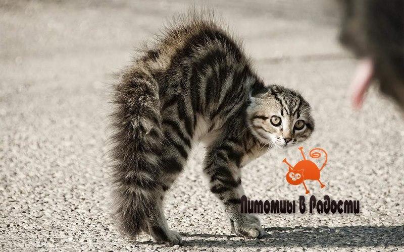 Кошка шерсть дыбом