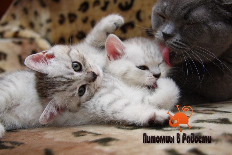 Мама и котенок - в каком возрасте можно забрать котенка у кошки