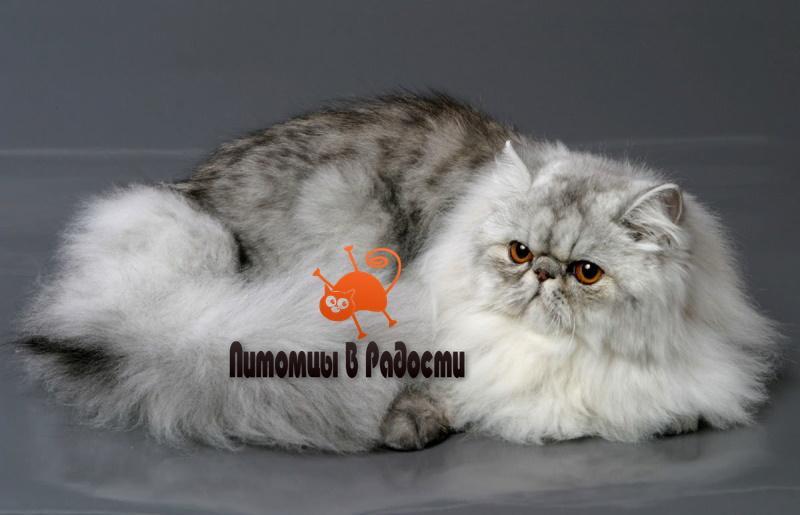 пробелмы персидской кошки