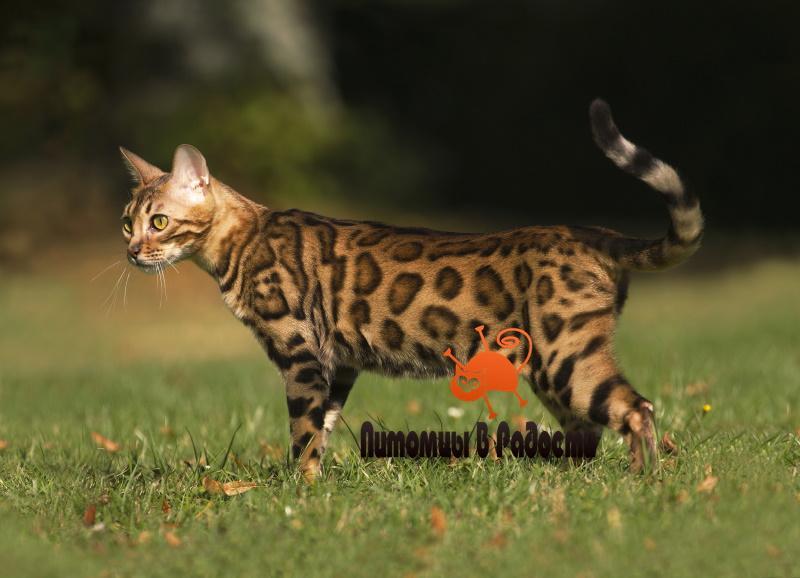 проблемы бенгальской кошки