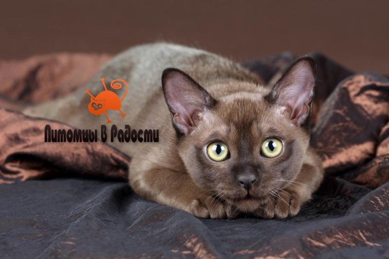 проблемы бурманской кошки