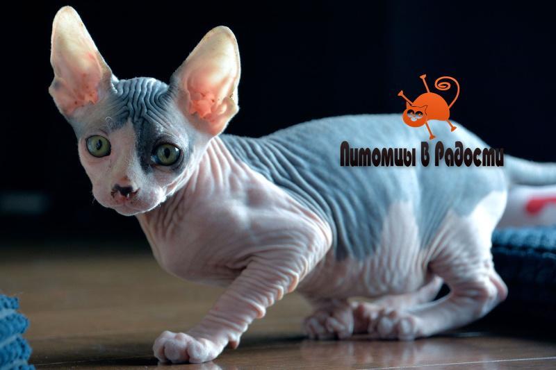 Проблемы кошек сфинкс