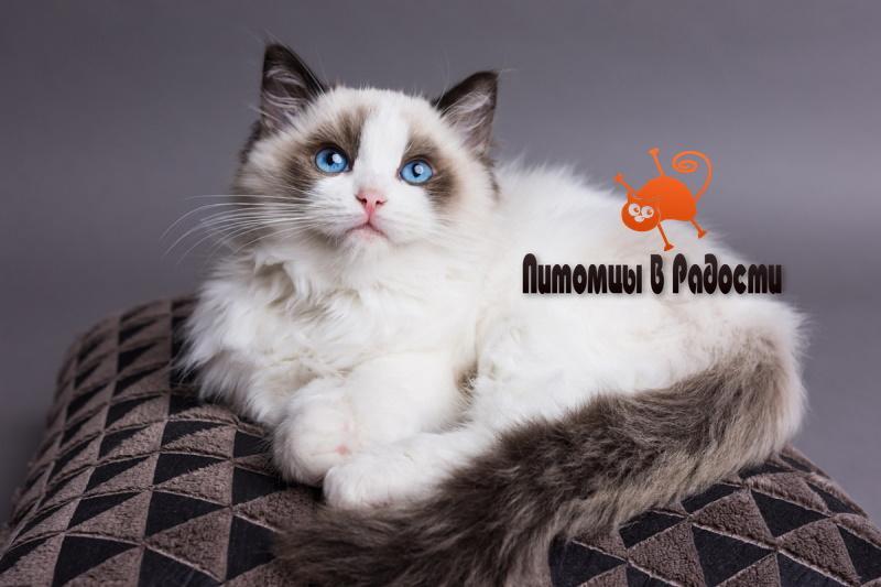проблемы кошки рэгдолл