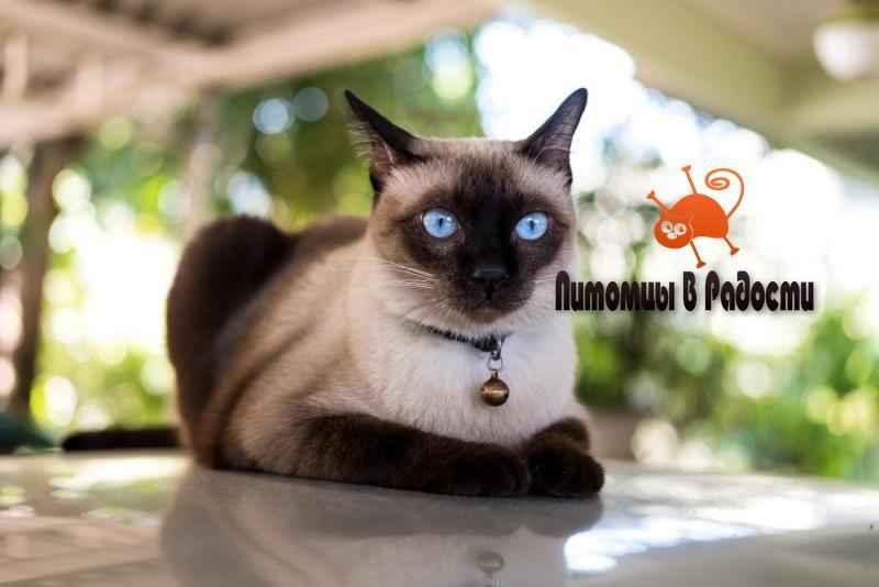 проблемы сиамской кошки