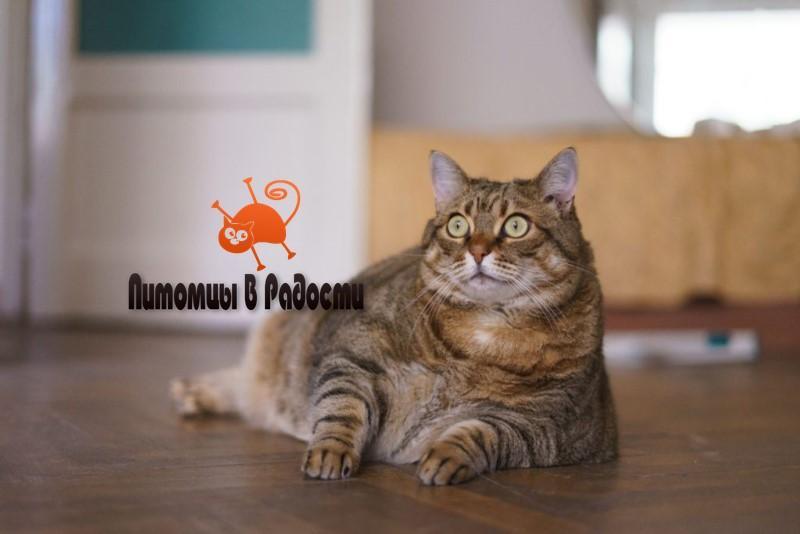 лишний вес у кошек