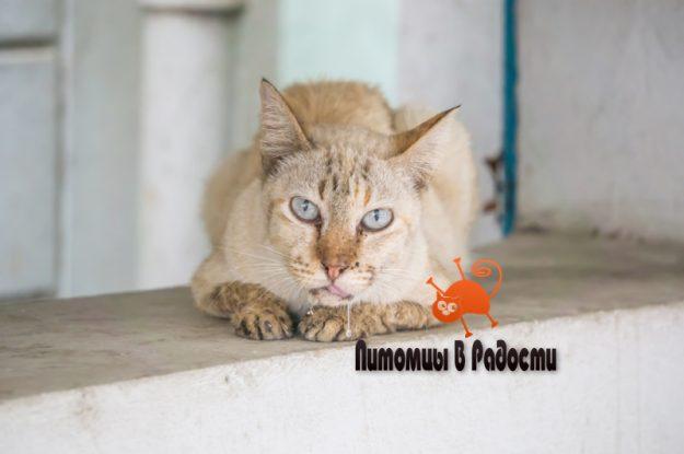 Гиперсаливация у кошек (повышенное слюноотделение)