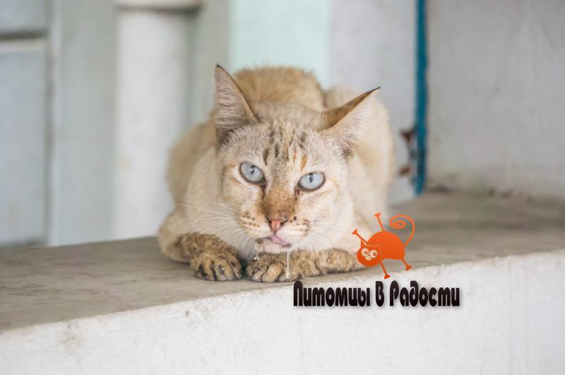 Гиперсаливация у кошек