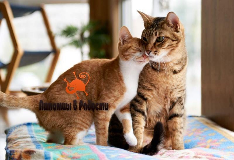 Как подружить кошек дома